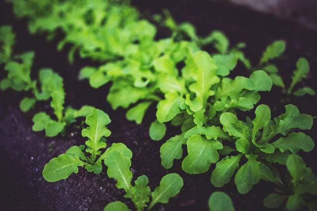 Bezpieczna uprawa zielonych warzyw w ogrodzie. Top 5 gatunków do uprawy w tunelach foliowych